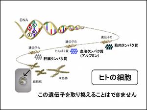 ヒトの細胞