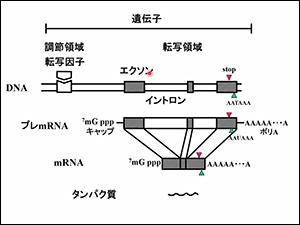 エクソンの組み合わせで複数のmRNAが作られ、そこからタンパク質ができる