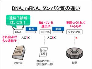 DNA、mRNA、タンパク質の違い