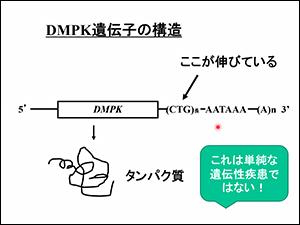 DMPK遺伝子の構造