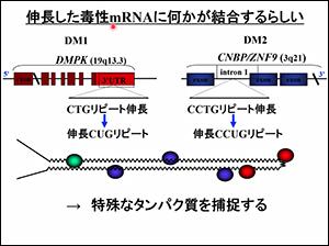 伸びているmRNAに何かが結合するらしい