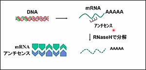 悪いmRNAに鍵と鍵穴のようにぴったり付くDNA