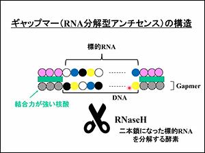 ギャップマー(RNA分解型アンチセンス)の構造